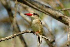 brun hövdad kingfisher Arkivfoto