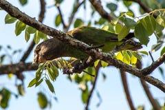 brun hövdad papegoja Royaltyfria Foton