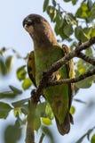 brun hövdad papegoja arkivfoton
