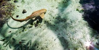 Brun haj som omges av klart vatten arkivfoto