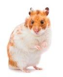 Brun hamster Arkivbild