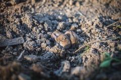 Brun hamster i lera Royaltyfria Bilder