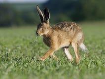 Brun hare för europé, lepuseuropaeus Royaltyfri Fotografi