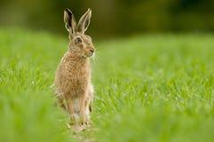 Brun hare för europé (Lepuseuropaeusen) fotografering för bildbyråer