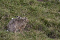 Brun hare för europé, sammanträde som lägger och kör bland högväxt gräs arkivfoton