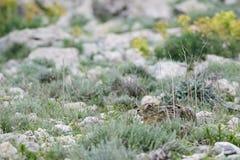 Brun hare - Lepuseuropaeus Royaltyfri Foto