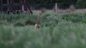Brun hare, Lepuseuropaeus, sammanträde, nederlag på långt gräs i sommar, juni i en dalgång i röktopasnationalparken stock video