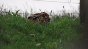 Brun hare, Lepuseuropaeus, sammanträde, nederlag på långt gräs i sommar, juni i en dalgång i röktopasnationalparken lager videofilmer