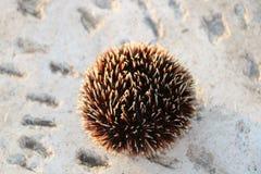 Brun havsgatubarn arkivfoto