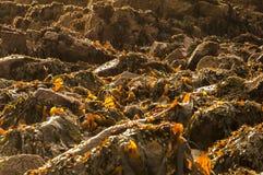 Brun havsväxt Arkivfoton
