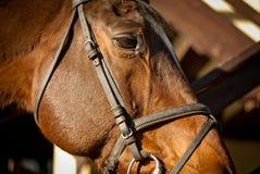 brun head häst Arkivbild