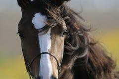 brun head häst Royaltyfri Foto