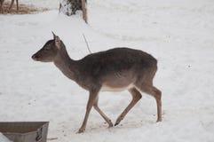 Brun hjortkvinnlig Fotografering för Bildbyråer