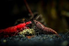 Brun hobby för akvarium för vatten för neocaridinaräkahusdjur royaltyfri bild