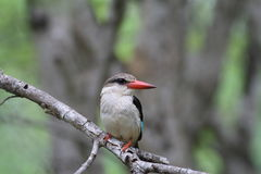 brun hooded kingfisher Arkivfoto