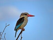 brun hooded kingfisher Royaltyfri Bild