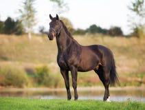 Brun häst för vuxen människa Fotografering för Bildbyråer