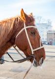 Brun häst med tygel- och selecloseupen Royaltyfri Foto