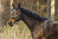 Brun häst på forsetbakgrunden Arkivbilder