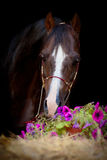 Brun häst som isoleras på svart Arkivbild