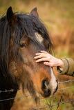 Brun häst som slås av den kvinnliga mänskliga handen Arkivbild