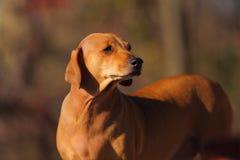 brun hund Royaltyfri Fotografi
