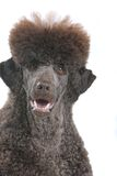 brun hund Arkivfoton