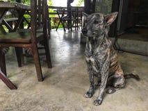 Brun hund för blandningsvartfärg som sitter på golvet och söker efter något på restaurangen arkivbilder