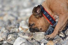 Brun hund för fransk bulldogg på semester på Pebble Beach som äter rest av en död fisk arkivbild