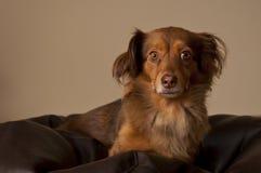 Brun hund i lagledaren Arkivbilder