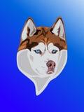 Brun hund med blåa ögon som framåtriktat ser Royaltyfria Bilder
