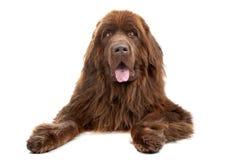 brun hund newfoundland Fotografering för Bildbyråer