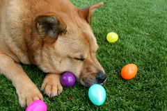 Brun hund på gräs med påskägg Arkivfoto