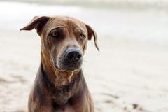 Brun hund på sand på stranden Royaltyfri Bild