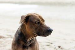 Brun hund på sand på stranden Fotografering för Bildbyråer
