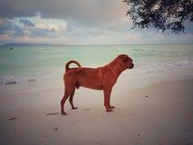 Brun hund p? stranden royaltyfria bilder