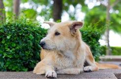 Brun hund som bort ser Royaltyfri Bild