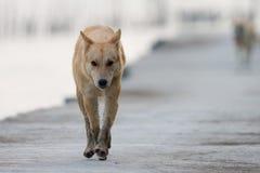 Brun hund som går på den konkreta bron Arkivbilder