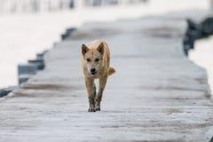 Brun hund som går på den konkreta bron Royaltyfri Foto