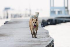Brun hund som går på den konkreta bron Fotografering för Bildbyråer