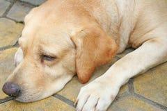 Brun hund som lägger ner på golvet royaltyfri bild