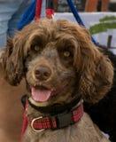 Brun hund som ser in i kameran royaltyfri bild
