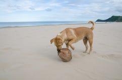 Brun hund som spelar vågorna på stranden med kokosnöten i mun Arkivbilder