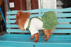 Brun hund Thailand gulliga älsklings- Pom Pom Royaltyfri Foto