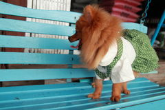 Brun hund Thailand gulliga älsklings- Pom Pom Royaltyfri Fotografi