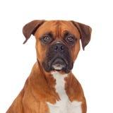Brun hundbulldogg Arkivfoton