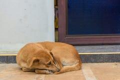 Brun hundsömn framme av dörren Royaltyfri Bild