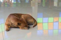 Brun hundsömn på jordningen Arkivfoton