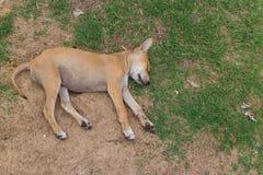 Brun hundsömn på jordningen Arkivbild