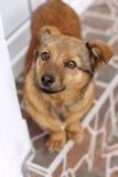 Brun hundstående Arkivfoton